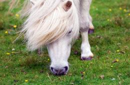miniature ponies foula island