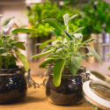 herb plants in jars on wooden table